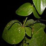 Oryctanthus cordifolius