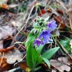 Pulmonaria longifolia Flower