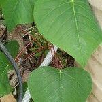 Homalanthus populneus