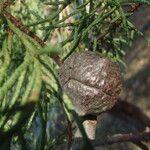 Cupressus guadalupensis