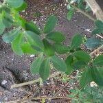 Pithecellobium dulce Leaf