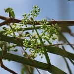 Cissus quadrangularis Fleur