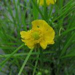 Ranunculus flabellaris