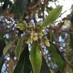 Pittosporum undulatum Flower