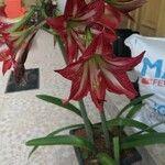 Hippeastrum reginae 花