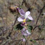 Hibiscus pycnostemon