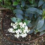 Viburnum tinus Leaf