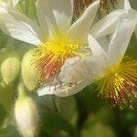 Sparrmannia africana