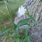 Silene latifolia Flor