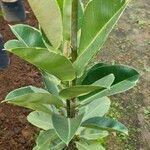 Ficus elastica Feuille