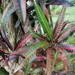 Codiaeum variegatum Liść