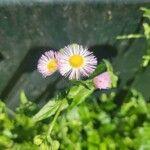 Erigeron philadelphicus Kvet