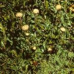 Antennaria monocephala