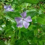 Vinca major 花