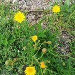 Crepis biennis Flower