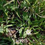 Stellaria longipes