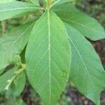 Vernonia albicaulis
