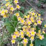 Primula x polyantha
