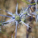 Eryngium aquifolium