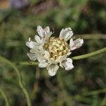 Cephalaria flava