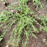 Phyllanthus polygonoides