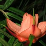 Freycinetia cumingiana