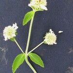 Hyptis lantanifolia