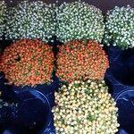 Coprosma granadensis Kvet
