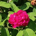 Rosa × damascena