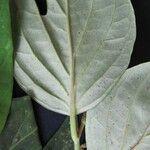 Piper nudifolium
