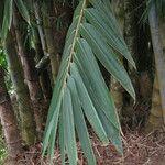 Dendrocalamus giganteus