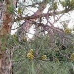 Pinus halepensis Fruit
