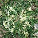 Astragalus depressus