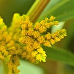 Flaveria bidentis