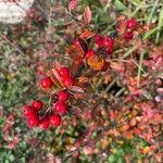 Cotoneaster divaricatus