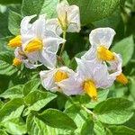 Solanum tuberosum