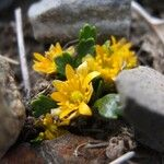 Ranunculus filamentosus