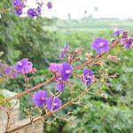 Tibouchina aegopogon