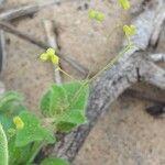 Streptocarpus saxorum Flor