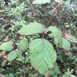 Rubus ulmifolius Leht