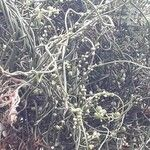 Cassytha filiformis Habit