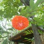Brownea ariza
