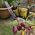 Plectranthus scutellarioides Flower