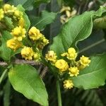 Bunchosia armeniaca