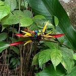 Heliconia mathiasiae