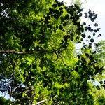 Cordia reticulata