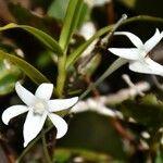 Angraecum mauritianum