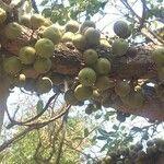 Ficus sansibarica
