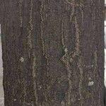 Quercus rubra Lubje