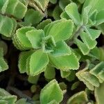Plectranthus amboinicus Leaf